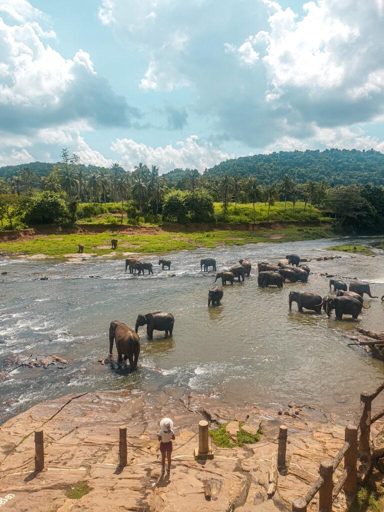 Elephants in srilanka